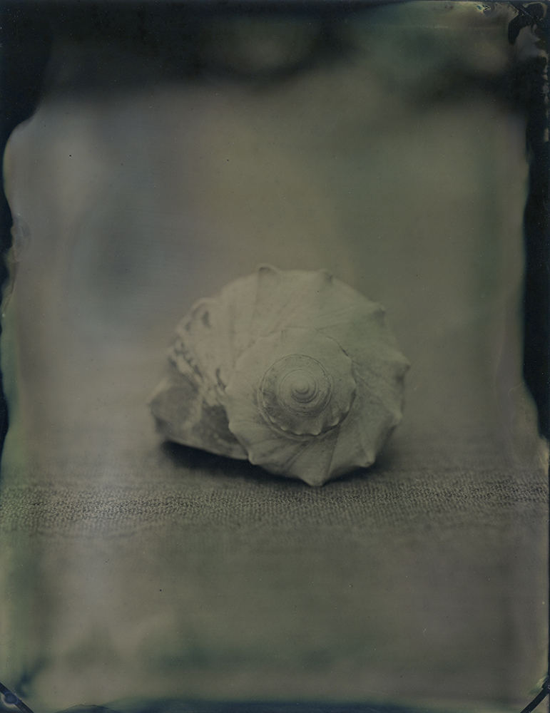 """Plate 72 Knobbed whelk (Busycon carica) ,archival inkjet print of scanned wetplate collodion (tintype), 8"""" x 10"""", $125"""