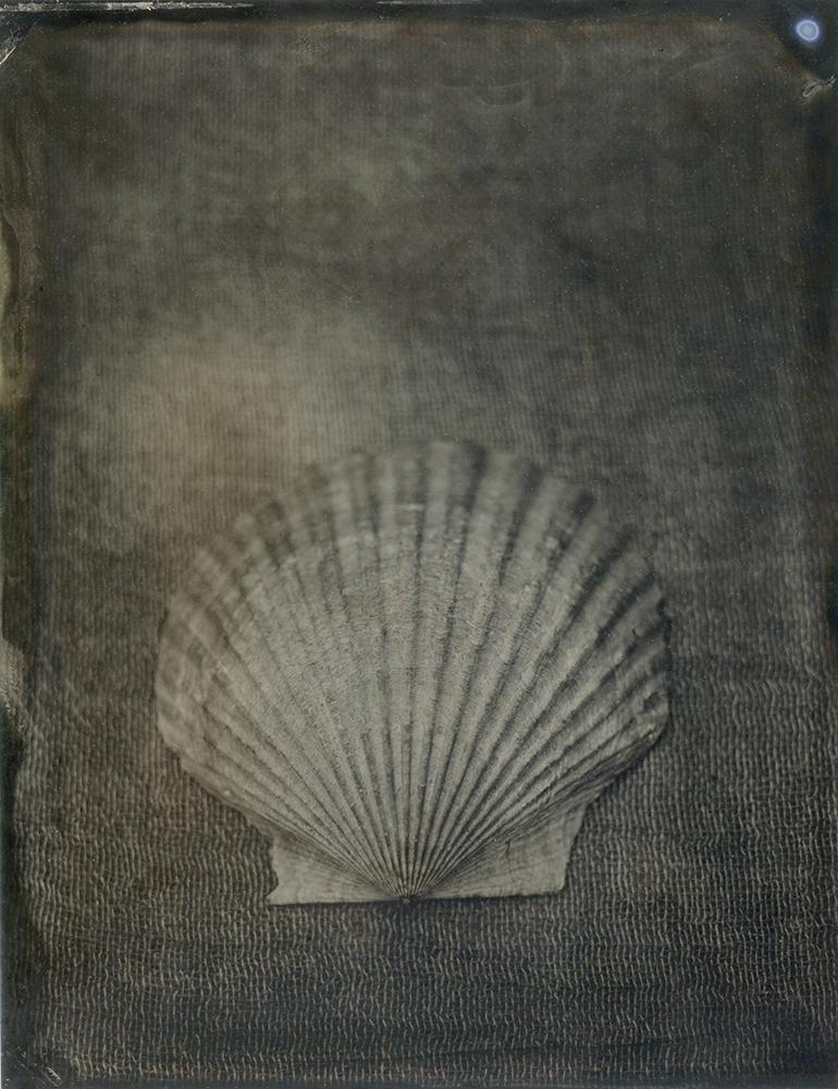 "Plate 83 Atlantic calico scallop (Argopecten gibbus) ,archival inkjet print of scanned wetplate collodion (tintype), 8"" x 10"", $125"