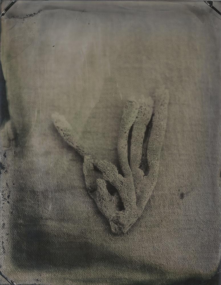 "Plate 93 Sponge (Haliclona oculata) ,archival inkjet print of scanned wetplate collodion (tintype), 8"" x 10"", $125"