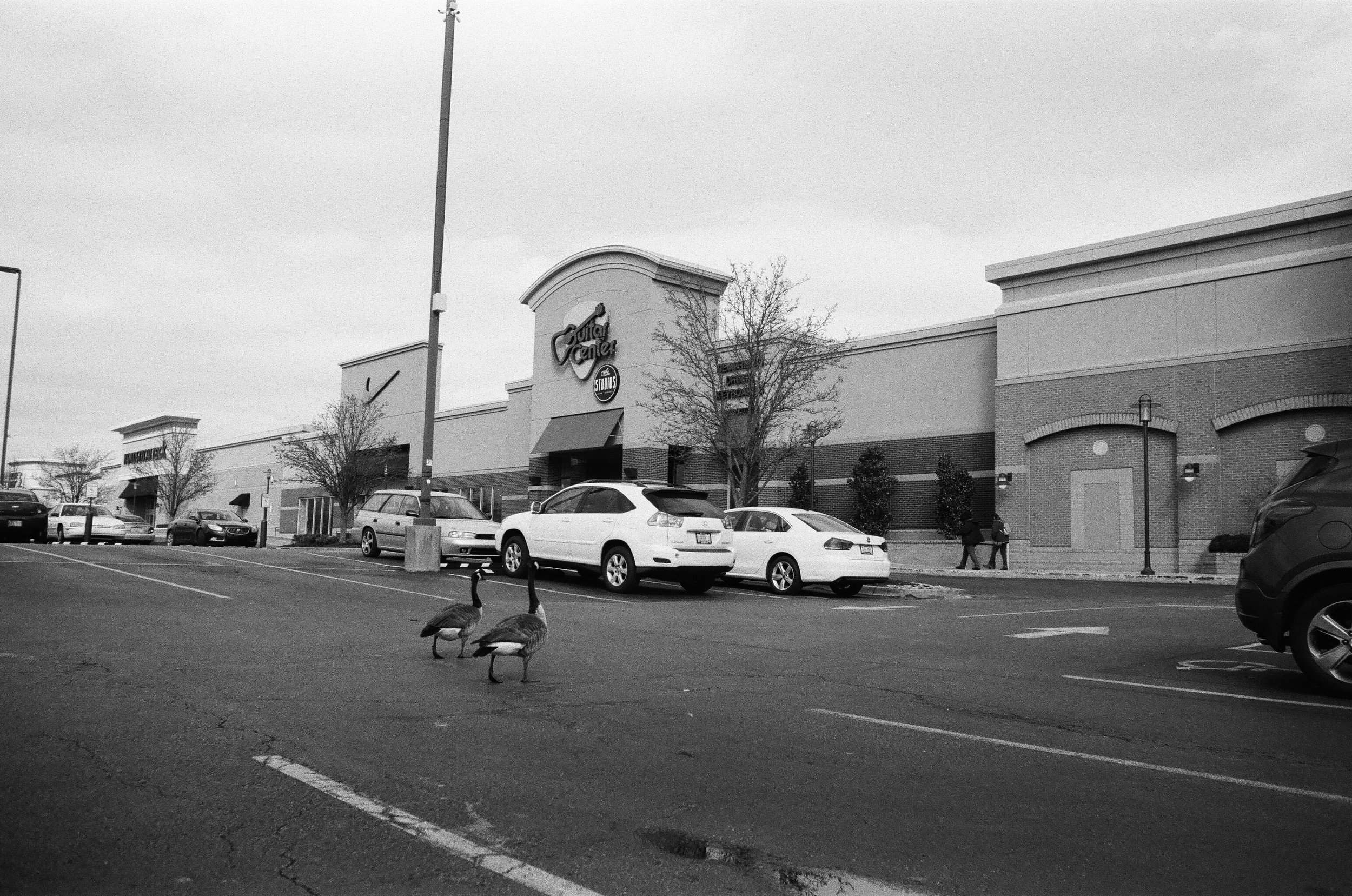geese_parking_lot_guitar_center_louisville.jpg
