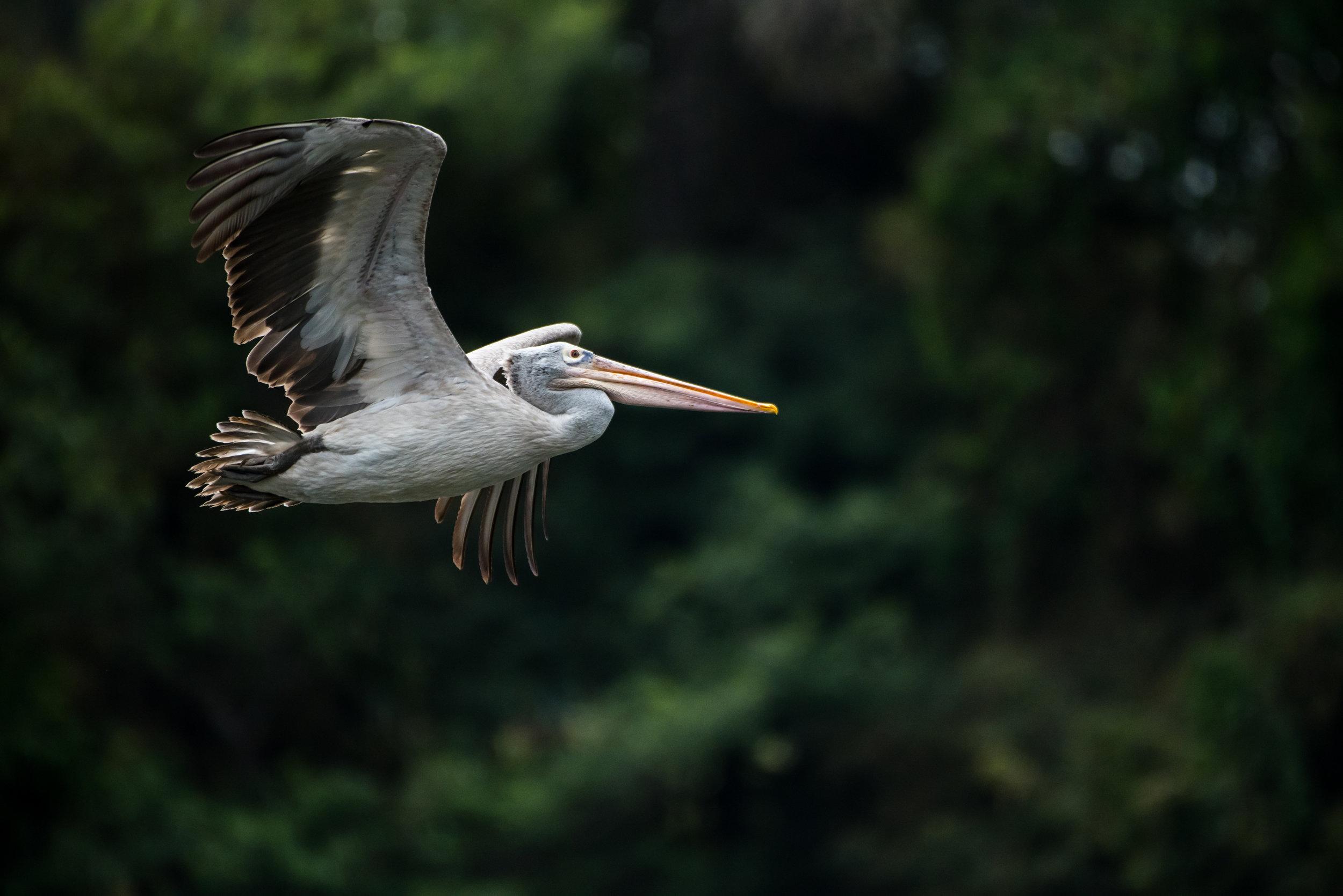 Spot-billed Pelican in Ranganathittu Bird Sanctuary, Mysore, India.