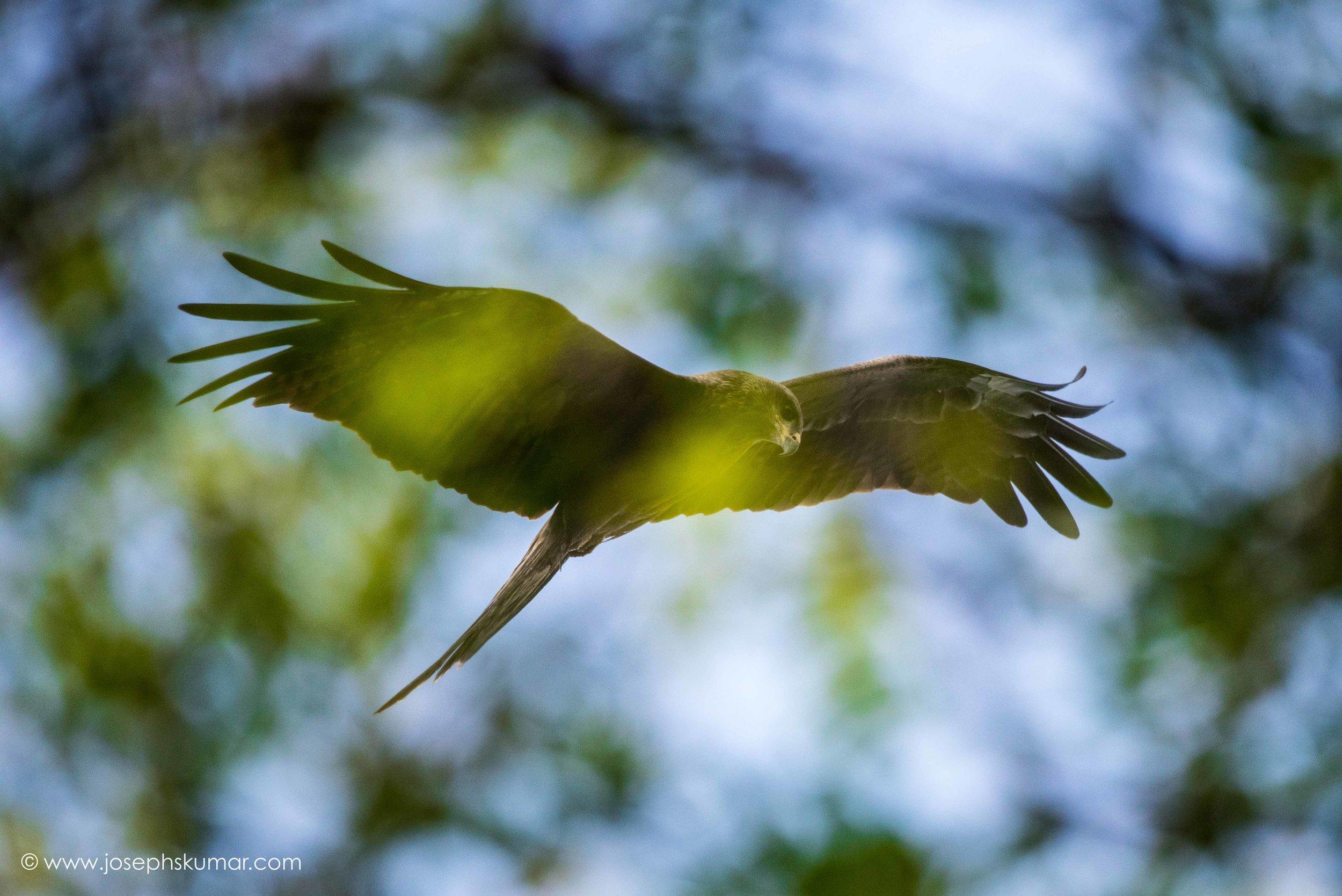 Black Kite through the foliage