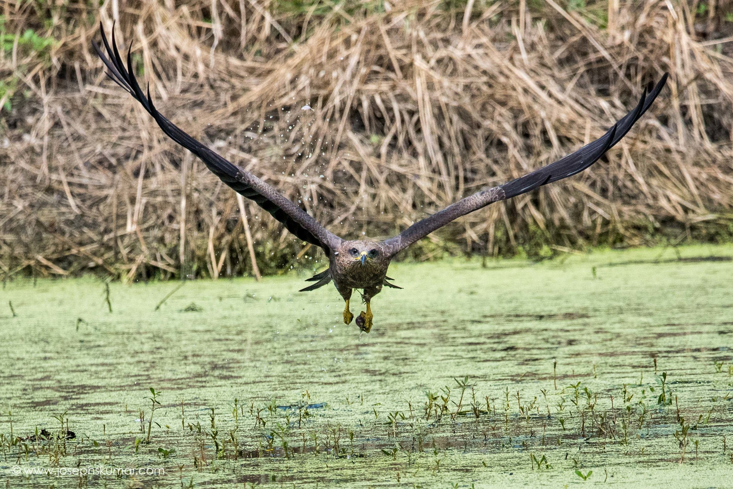 Black Kite going for the scoop.