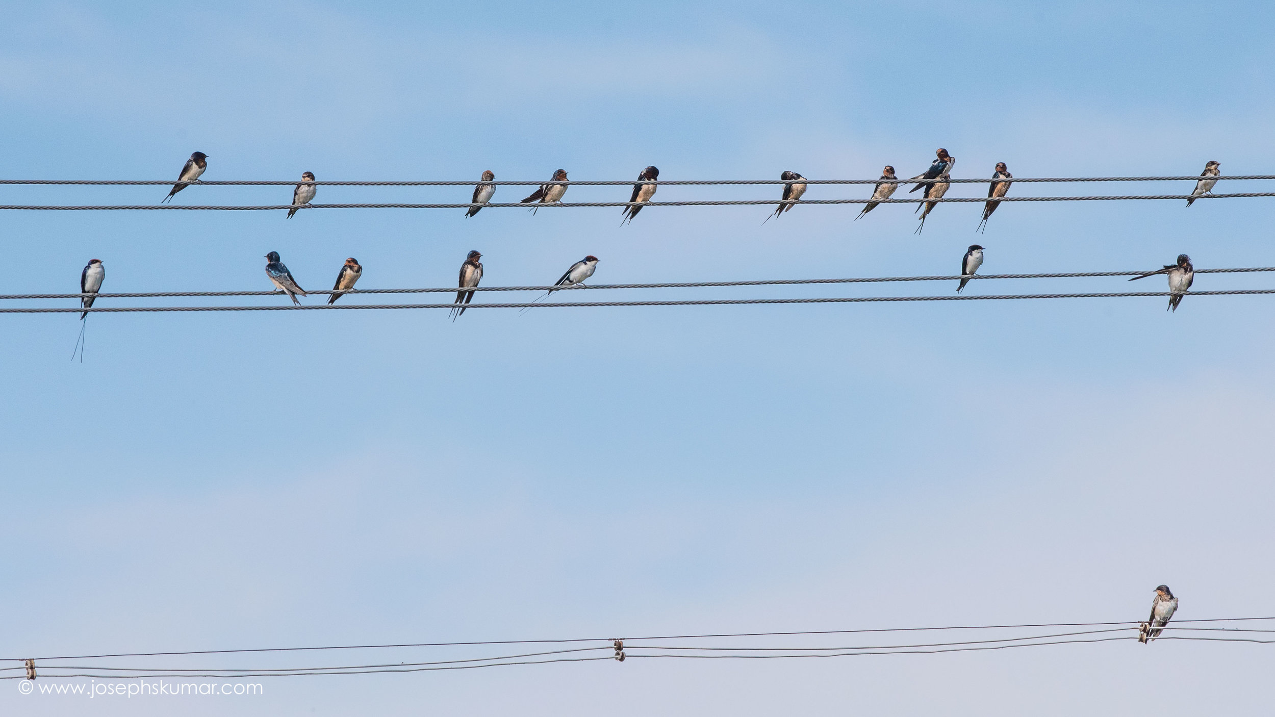 Barn Swallows. Striking a different note.
