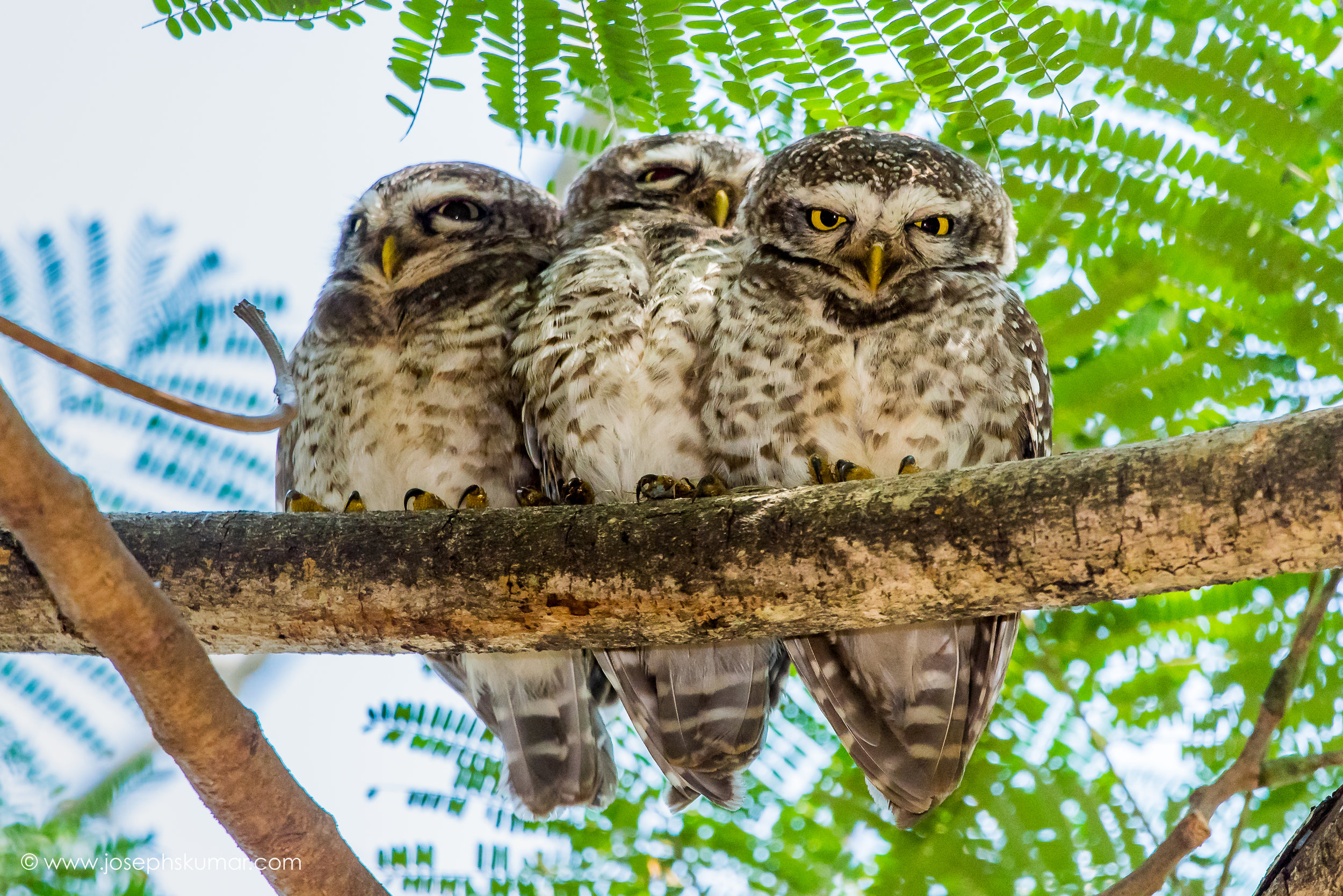Spotted Owlet, Lalbagh, Bangalore