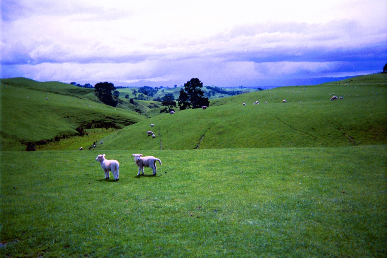 SHEEP IN NEW ZEALAND, 2003