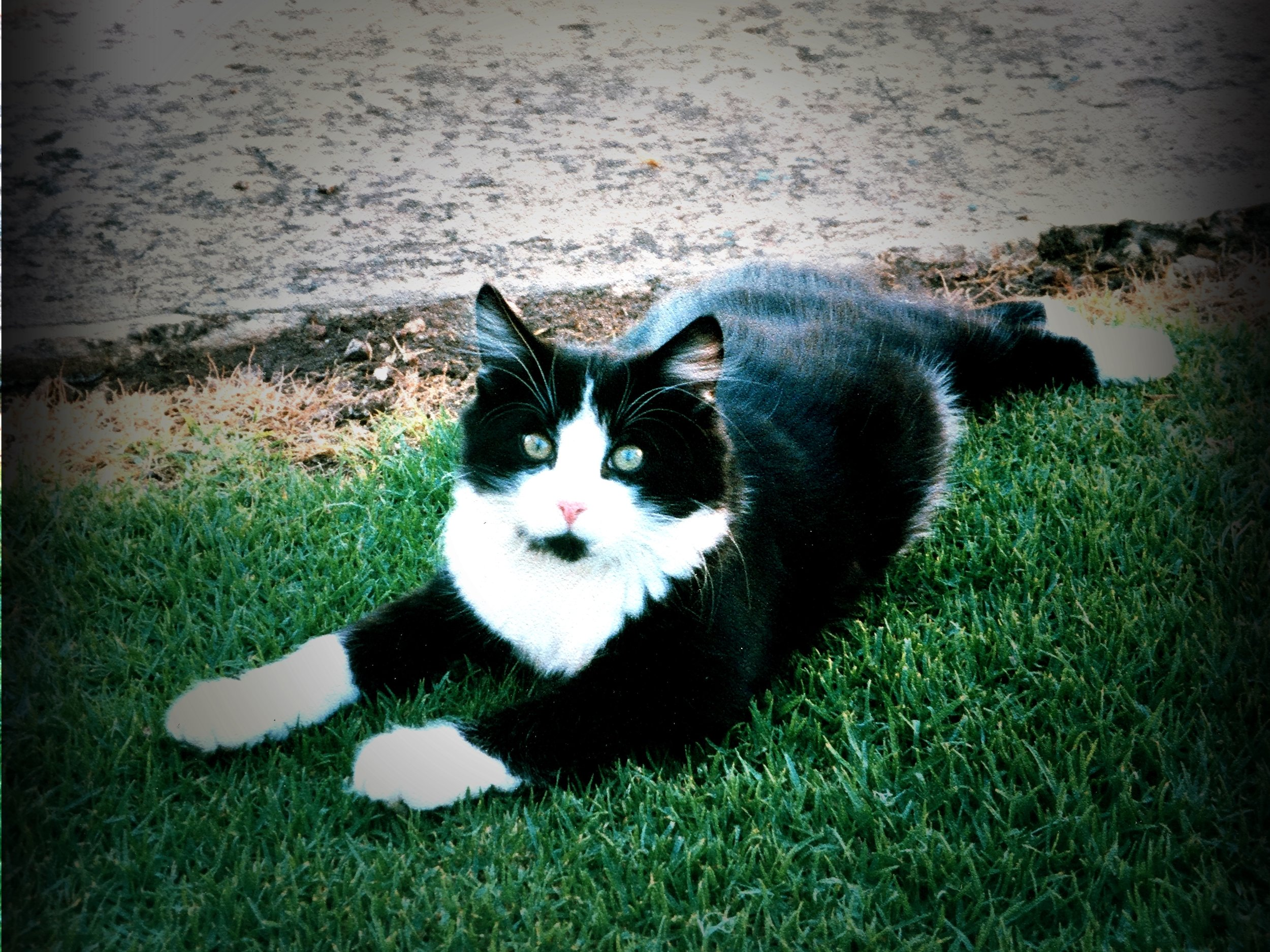 """""""OSCAR"""" POSING...THE FAMILY CAT AS I WAS GROWING UP"""