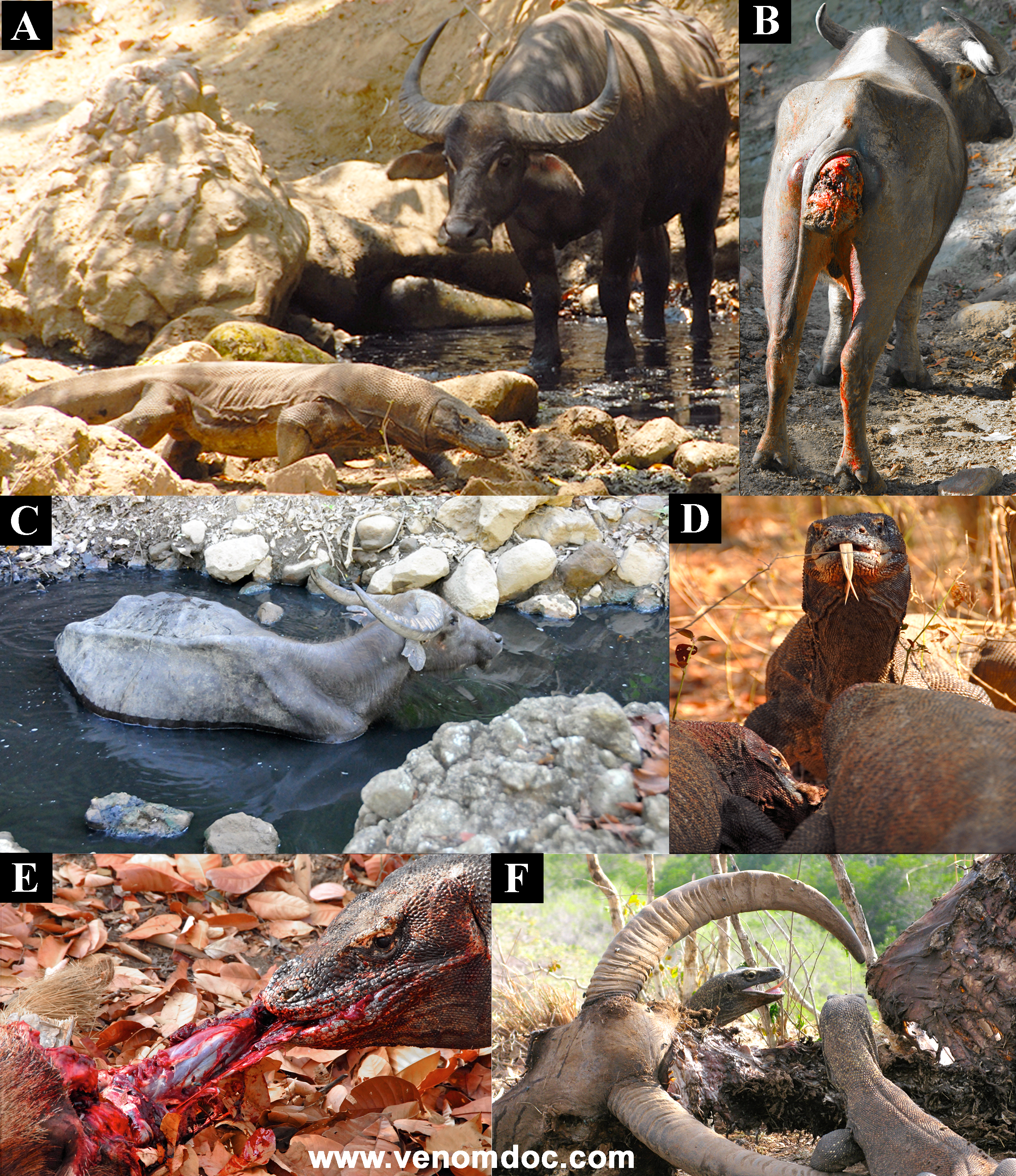 The (un)natural history of  Varanus komodoensis  and  Bubalus bubalis . These two animals share a habitat only because of the recent (< 300 years) introduction of B. bubalis onto the islands by Dutch settlers. Consequently, (A) B. bubalis does not recognize V. komodoensis as a natural predator, while V. komodoensis will experimentally attack any animal. (B) B. bubalis always escape but sometimes with deep wounds to the hindquarters. (C) Upon seeking refuge in the tiny rocky watering holes that are the only water source on the small islands, the wounds become infected because of the high concentrations of fecal matter. (D, E) If death occurs, multiple V. komodoensis will feed on the fresh carcass, using their powerful necks and forelegs to remove large chunks of meat. (F) Only once the adults have finished will the smaller V. komodoensis feed on the remains. (Photos A, D, E: Chris Kugelman; B, C: Bryan G. Fry; F: Gembong Riyadi Nurrasa.). From our book Venomous Reptiles and their toxins.