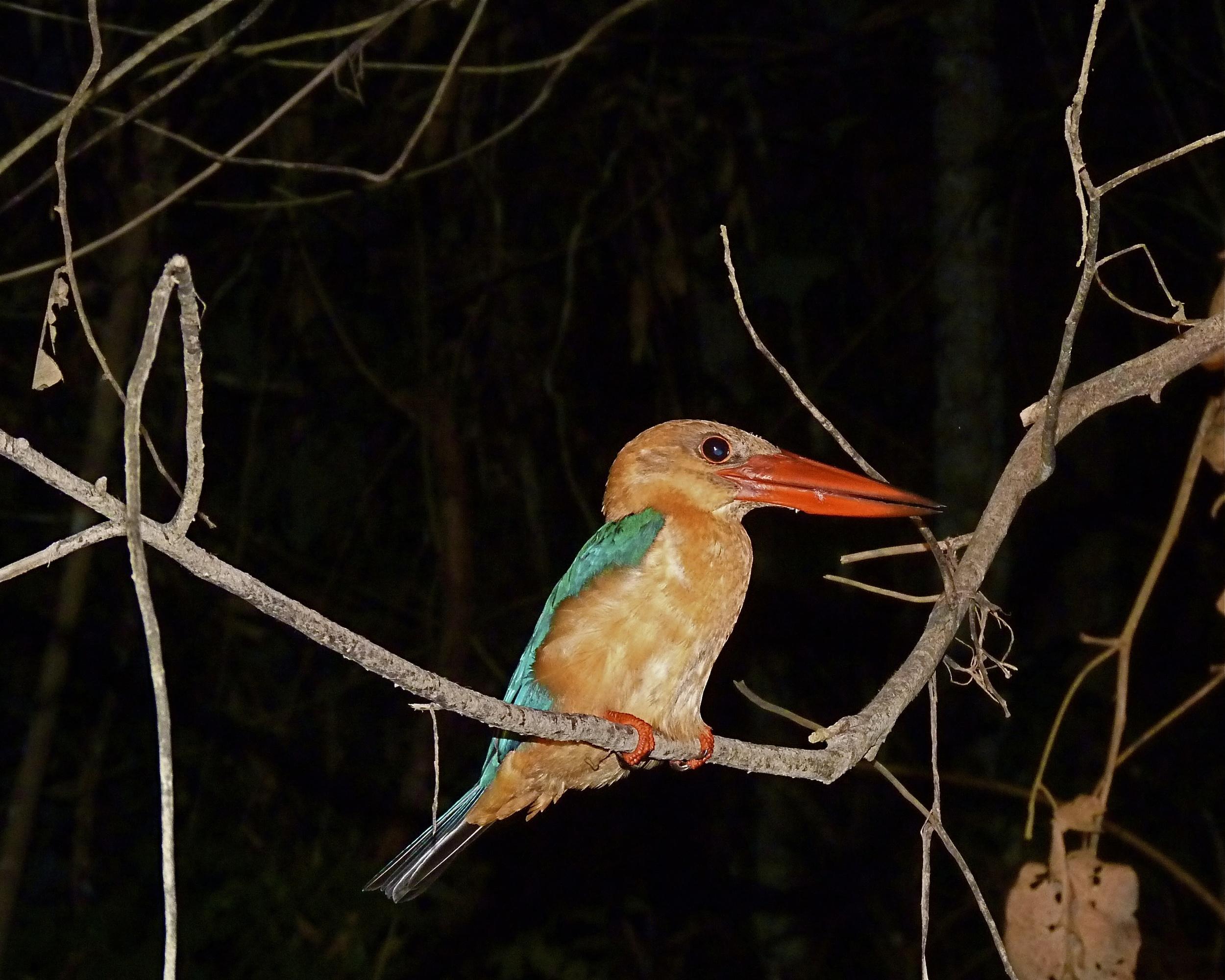 The long-bill kingfisher (who'da thunk?)