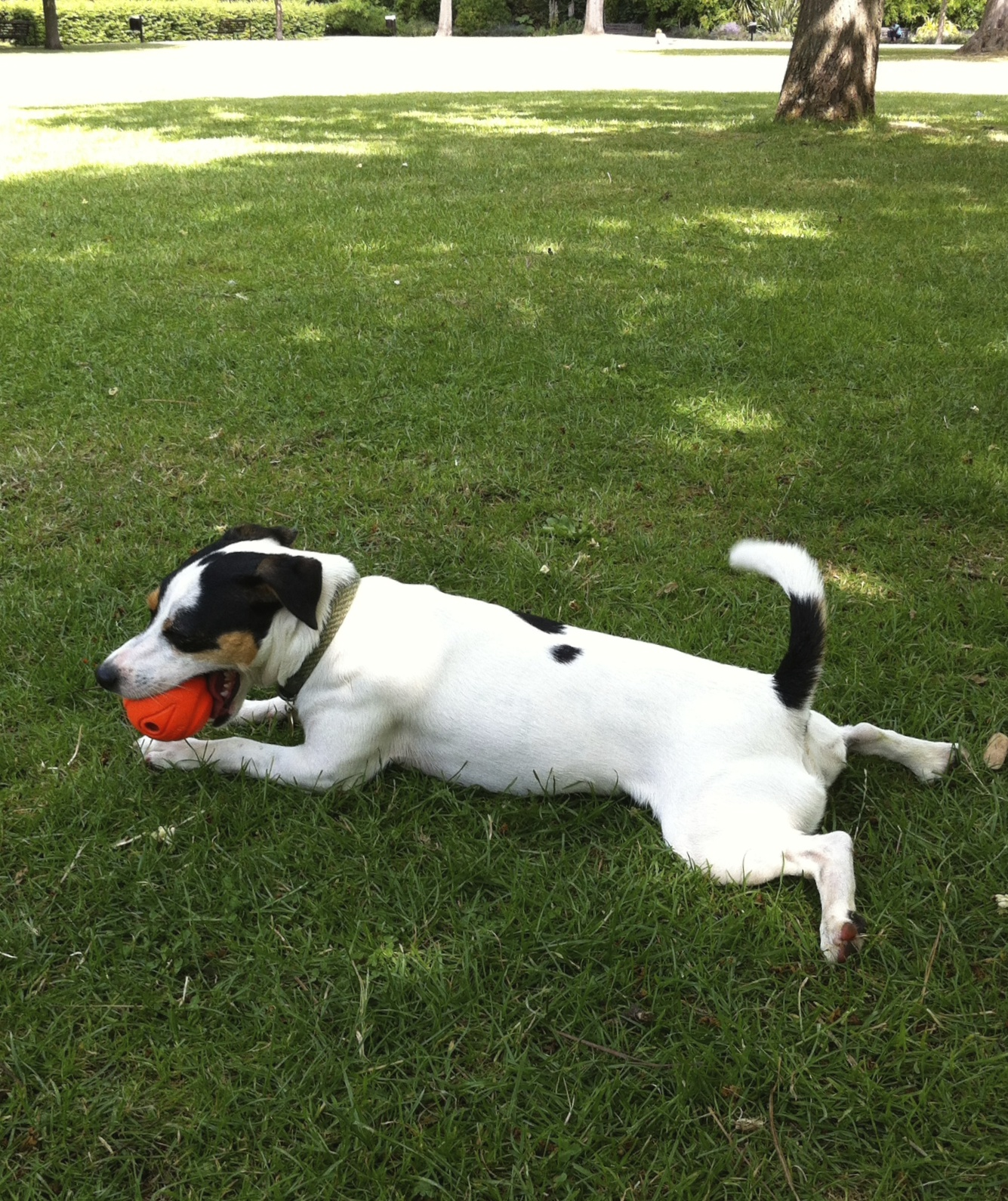 If there are no leaves around I can see the orange ball, especially when it's moving. When I get too hot from playing, I lay down in the shade. When I pant,the cool breeze on my tongue helps me cool off too. It's hard to pant with a ball in your mouth!