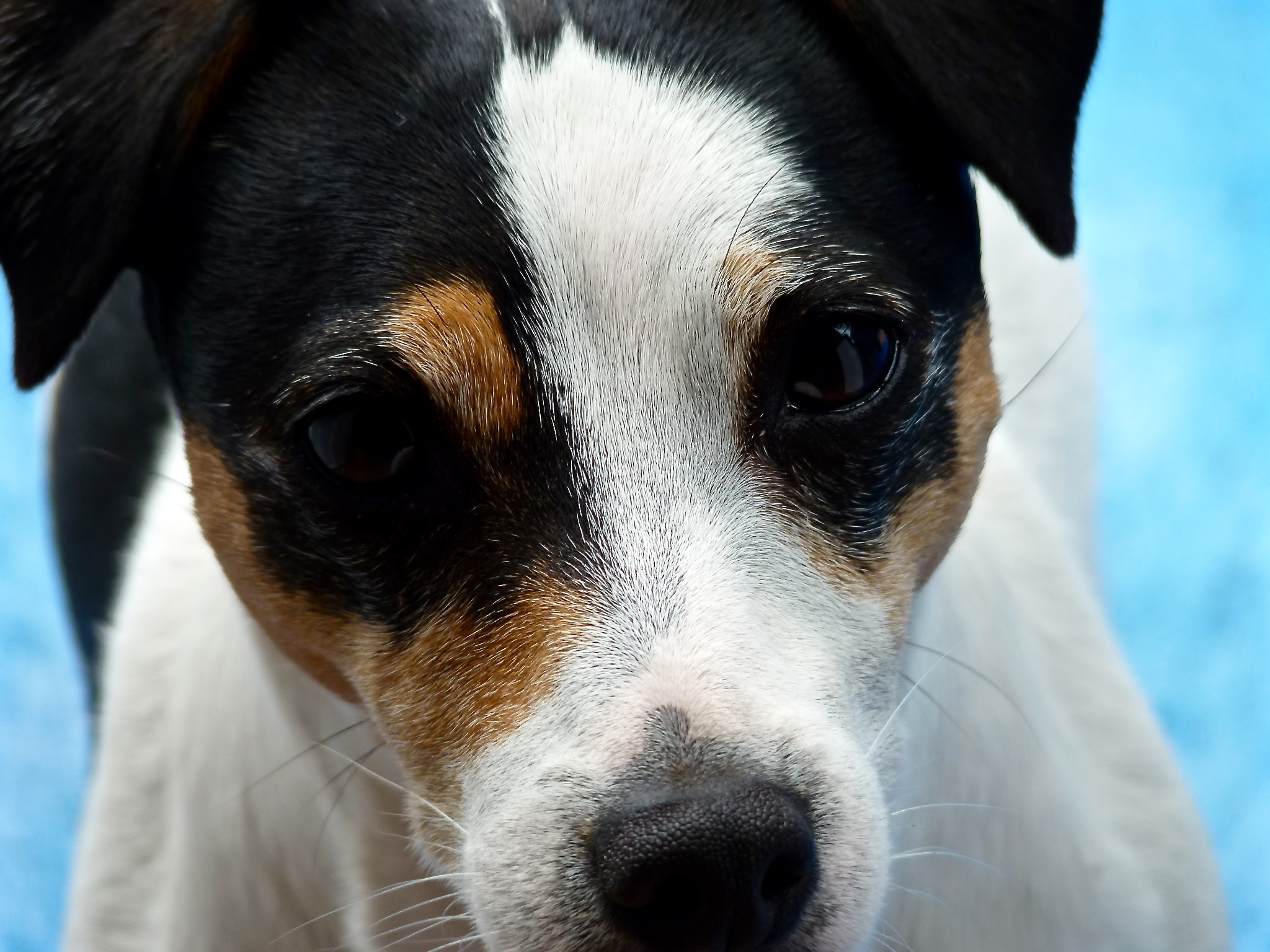 """I am a Jack Russell Terrier. Or at least I think I am. I don't have a birth certificate and no one knows my parents. Humans call me a """"rescue dog"""" because I was rescued from a place where I was very unhappy. But don't worry, things have turned out great for me so far!"""