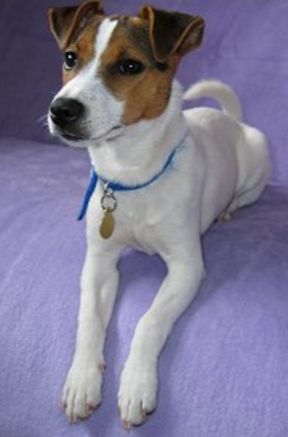 This dog is not me. You can tell because I am ten times cuter.This dog is a called a miniature Parson's Jack Russell Terrier. I think this is my breed. What do you think?