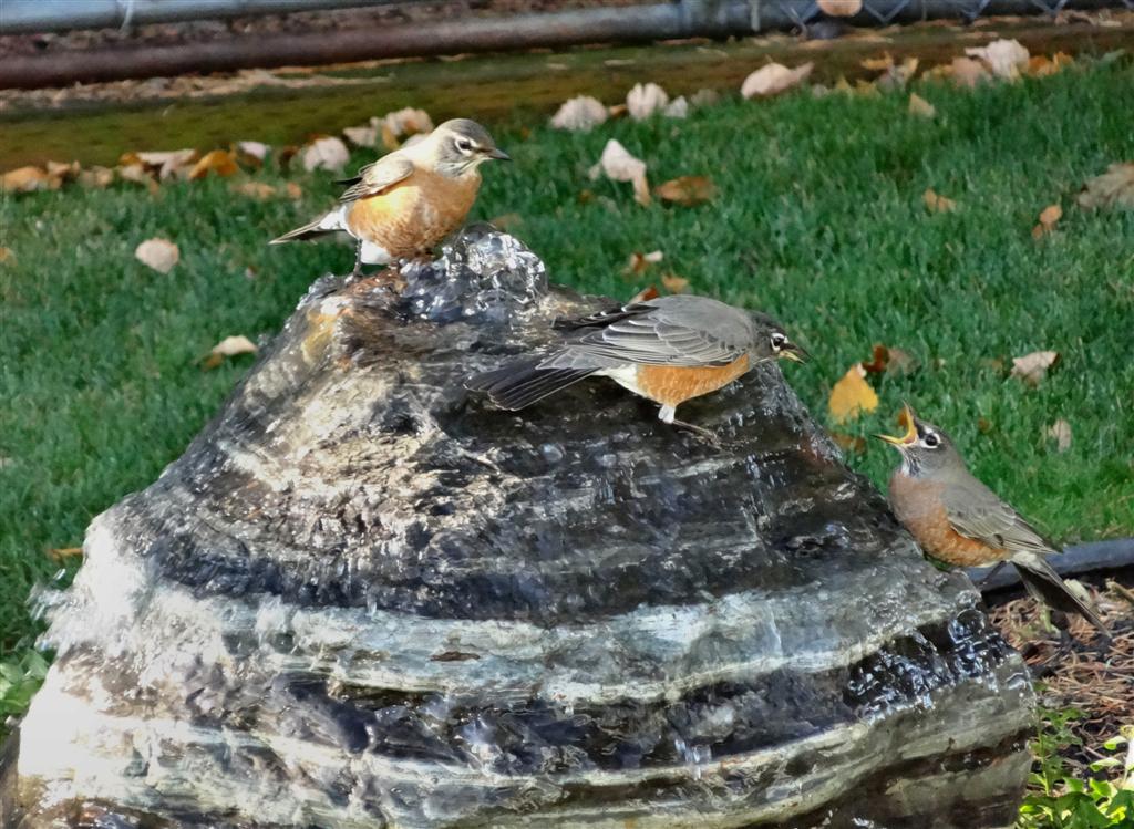 Birds on bubbler 022.5 (Large).jpg
