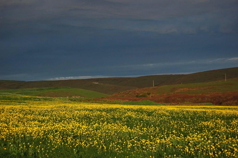 mustardfieldstorm.jpg