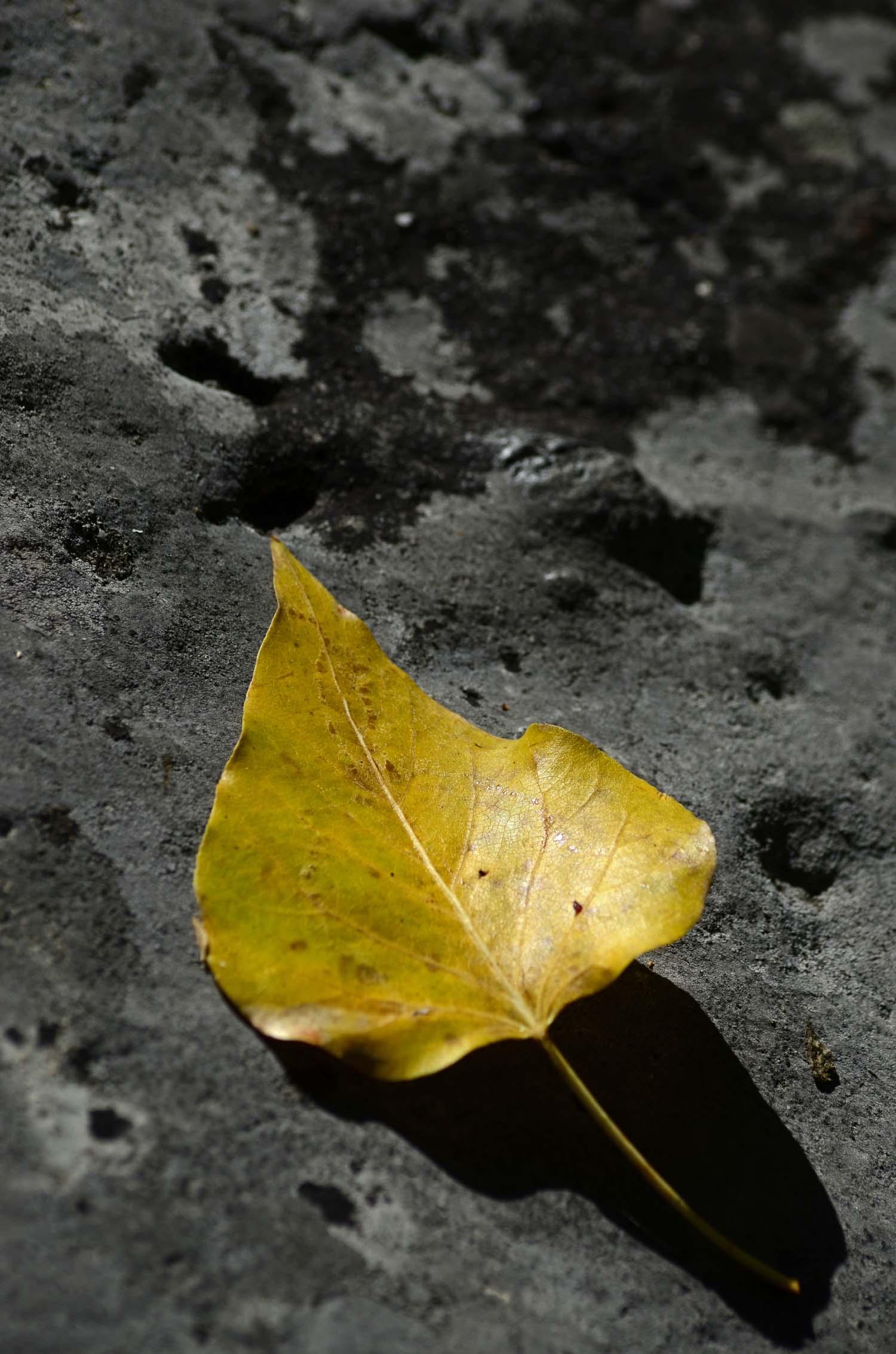 yellowleaf.jpg