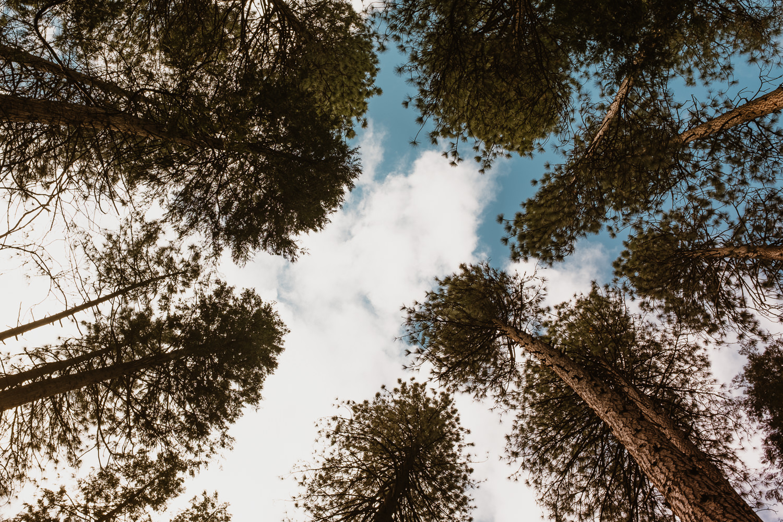 Yosemite National Park Trees