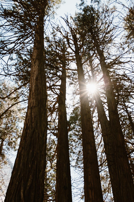Giant Trees Yosemite Park