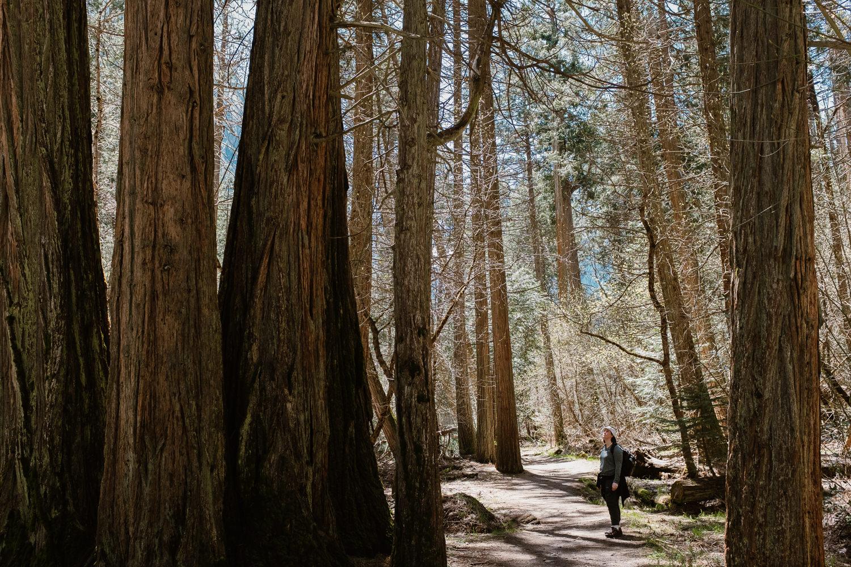 Yosemite Park Giant Trees