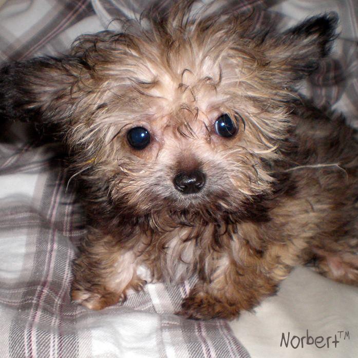 Norbert Puppy