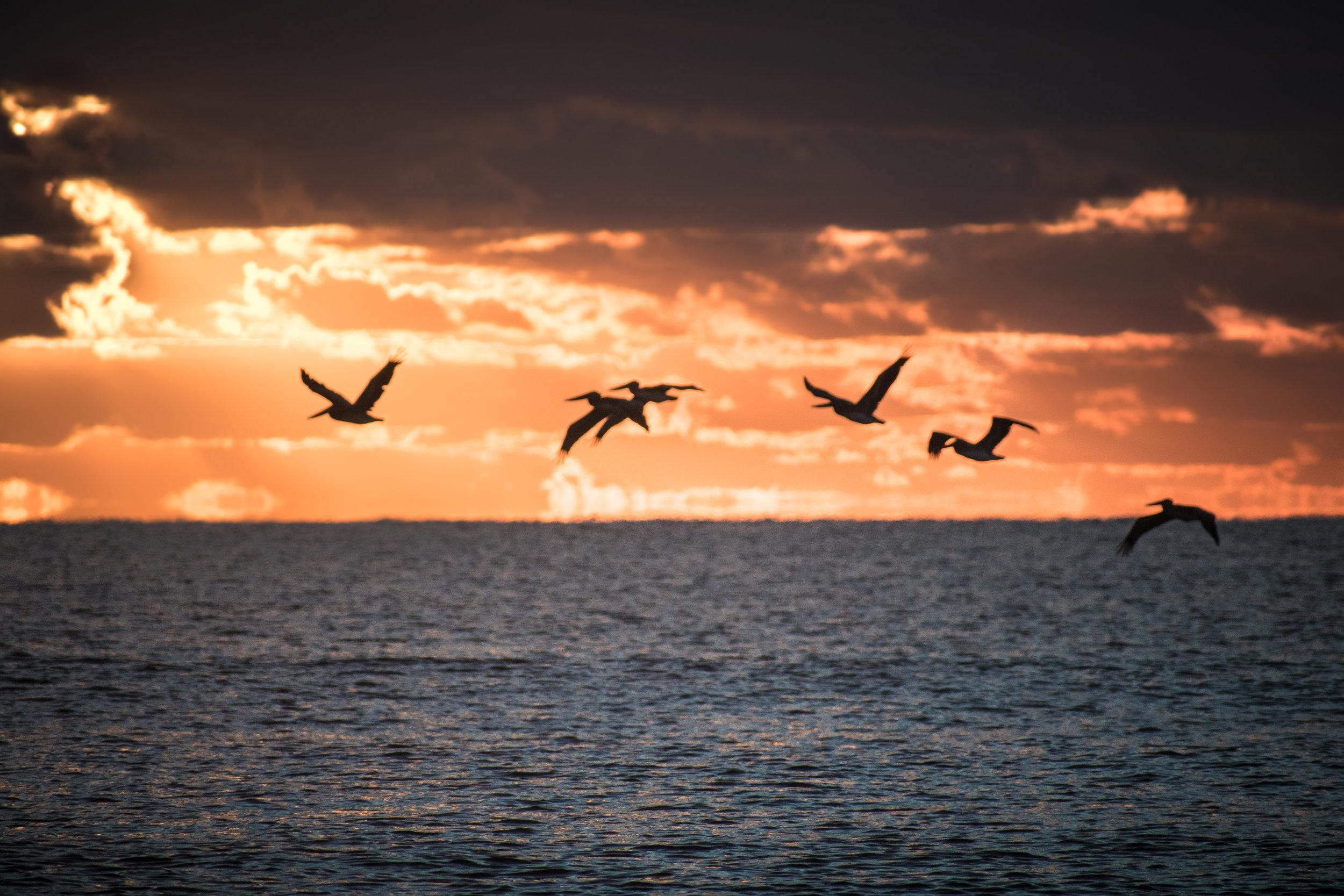 sunrise pelican.jpg