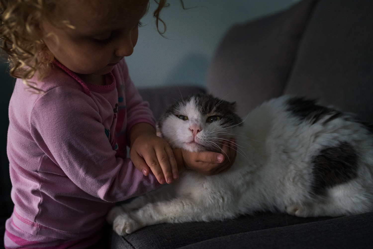 A toddler girl with blond curly hair in pink pyjamas with her right hand cupping the head of a white and grey scottish fold cat who is laying on a grey couch.