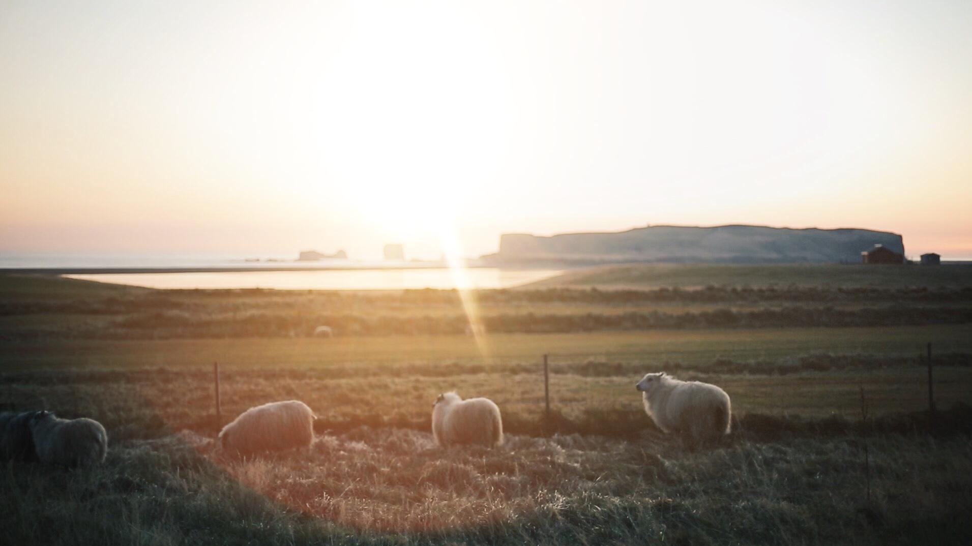 vik iceland sheep
