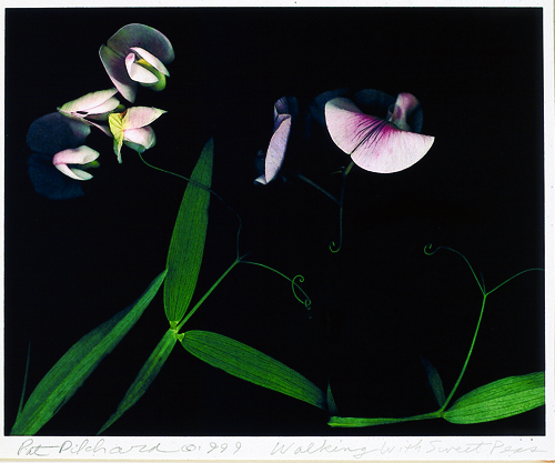 Pat Pilchard  Walking w/Sweet Peas  Digital print
