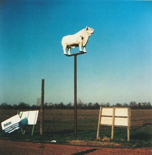 Trish Sharp  Cow  color photograph