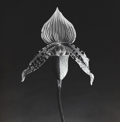 Robert Mapplethorpe   Orchid , 1987 photograph Courtesy of the Tennessee State Museum