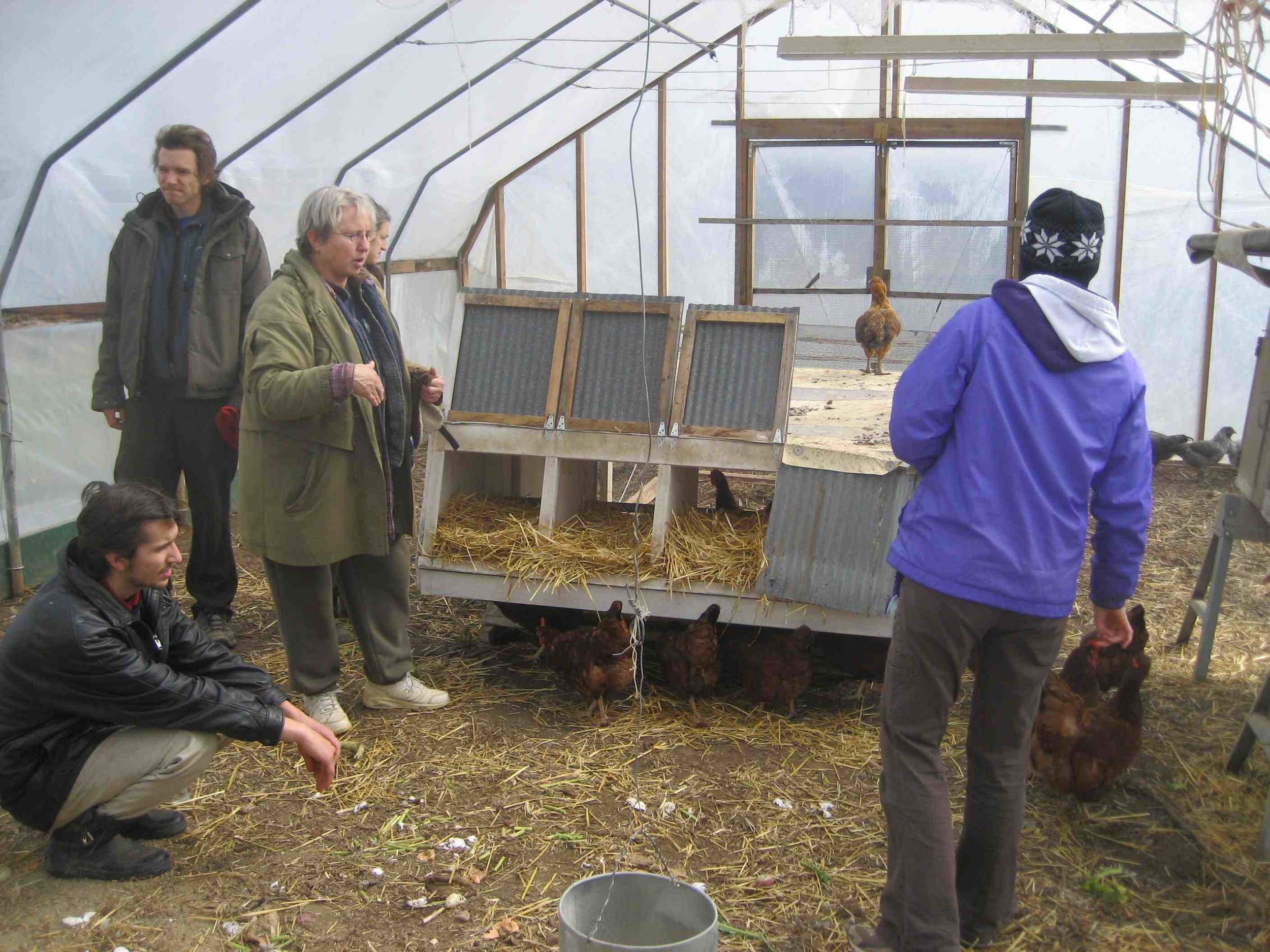 Chickens heating the greenhouse