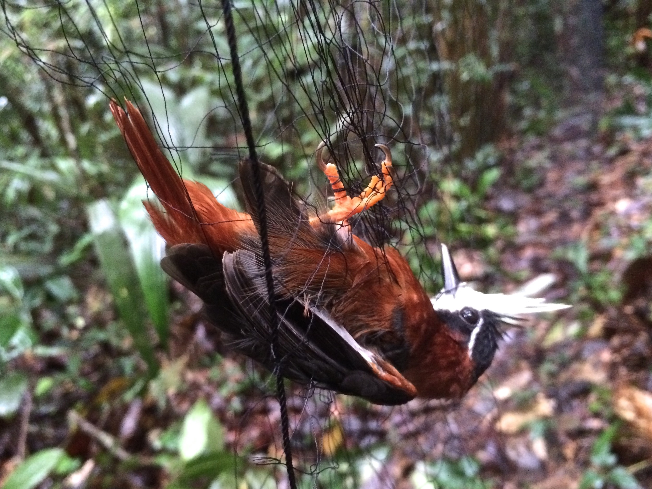 White-plumed antbird,  Pithys albifrons  caught in a mist net.