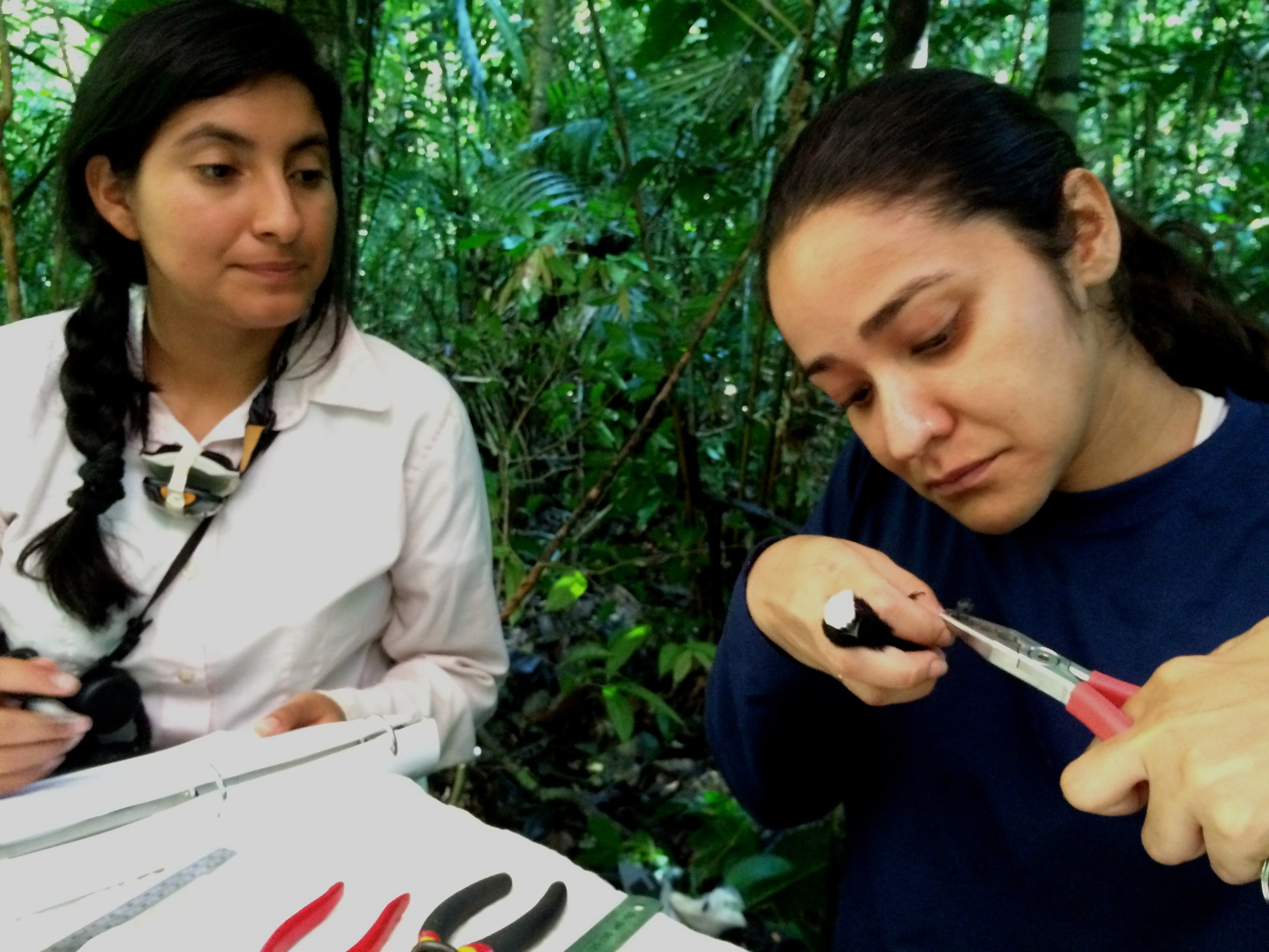 Flor Hernandez supervising Natalia Paes with a White-crowned manakin ( Dixiphia pipra )
