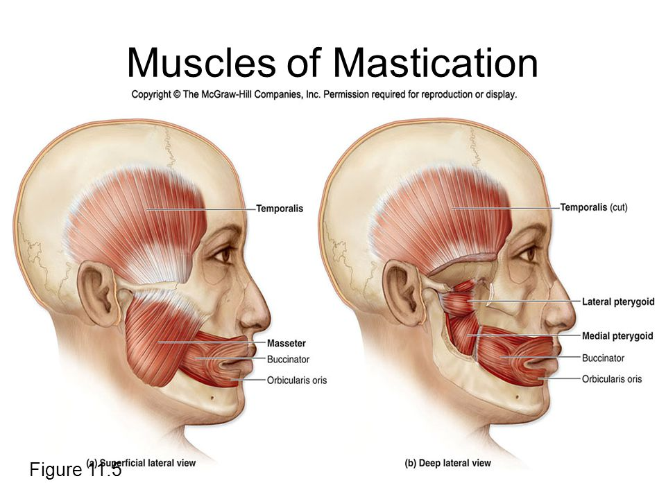 muscles of mastication.jpg