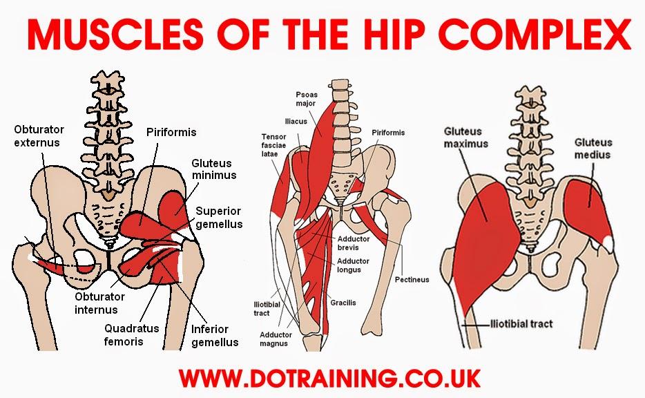 muscles-of-hip.jpg