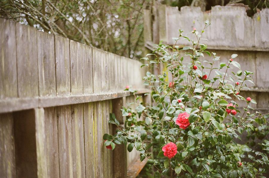 the-camellias-1
