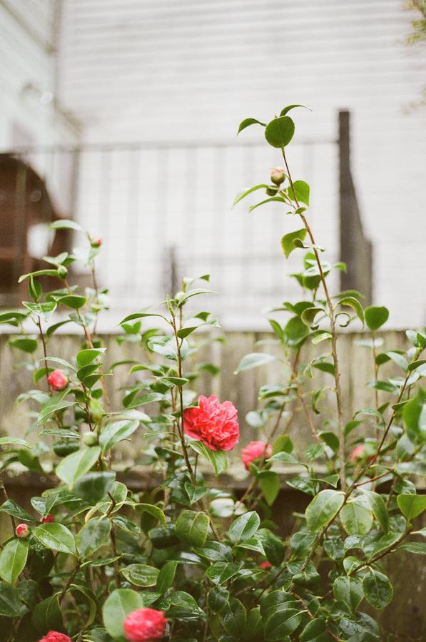 the-camellias-4