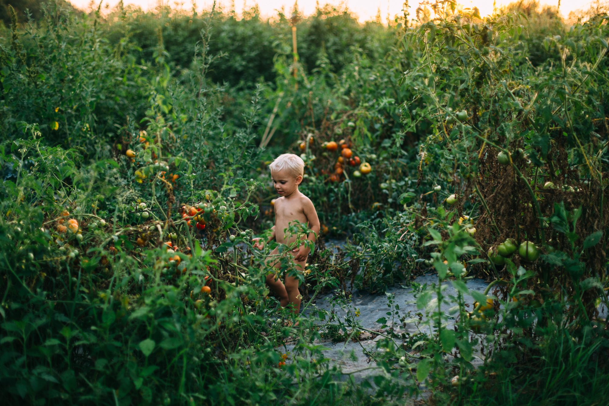 little boy in garden full of tomatoes