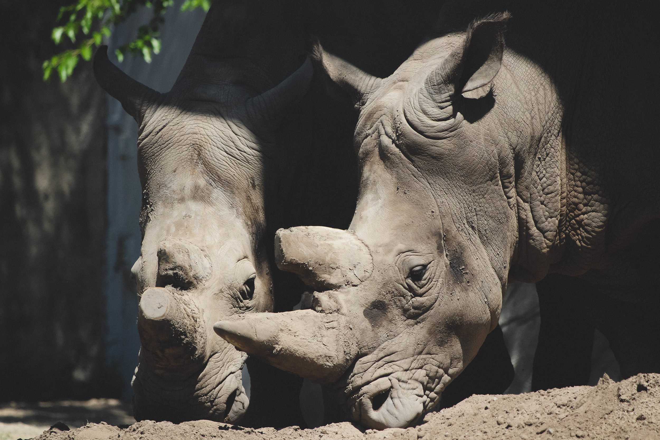 Rhinos at the Detroit Zoo | Image by Taylor Ifland Photography