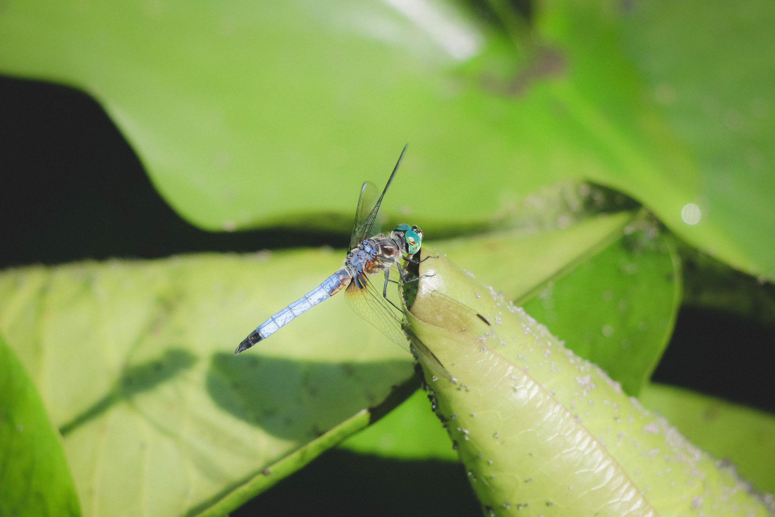 Dragonfly at the Detroit Zoo   Image by Taylor Ifland Photography