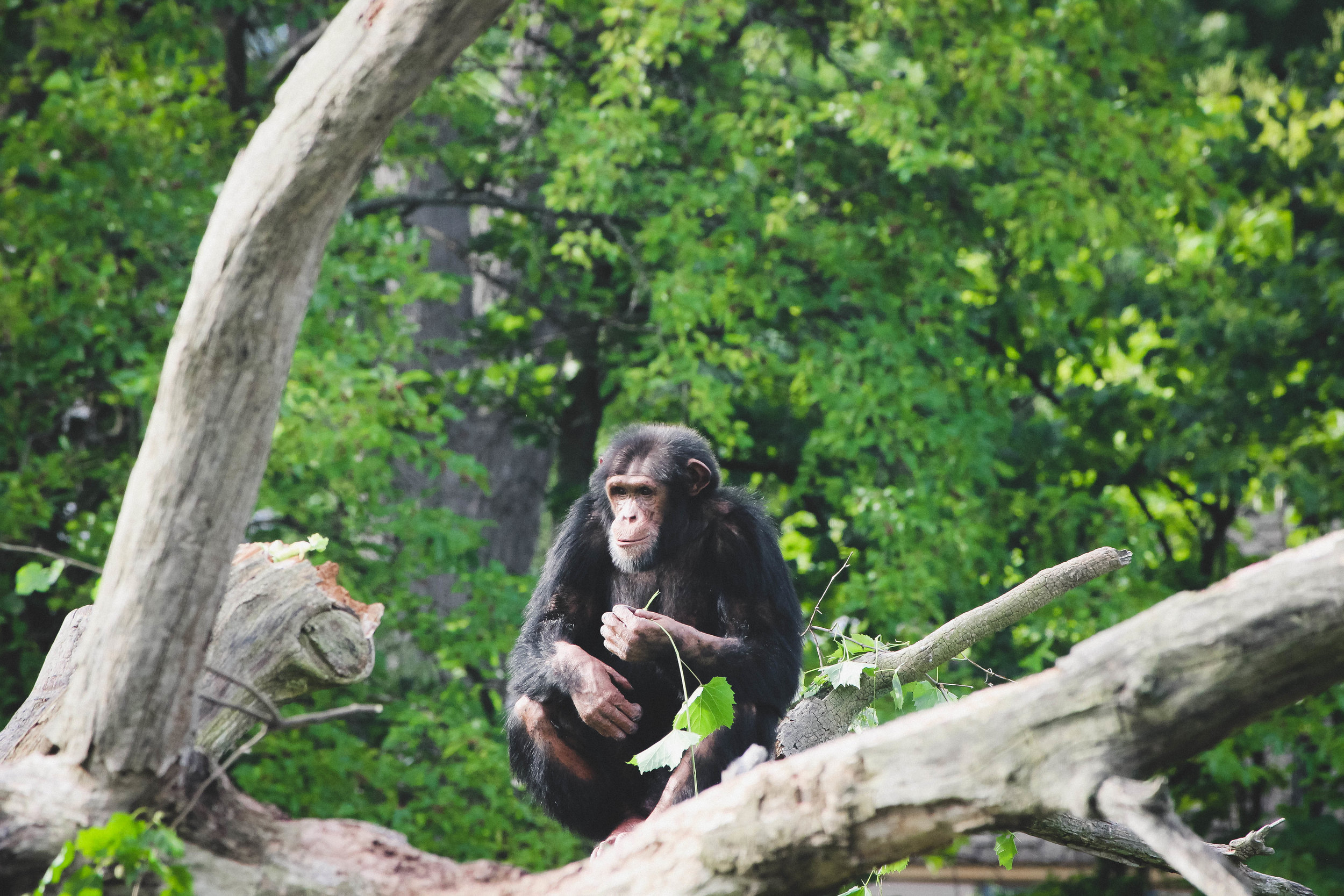 Chimpanzee at the Detroit Zoo | Image by Taylor Ifland Photography