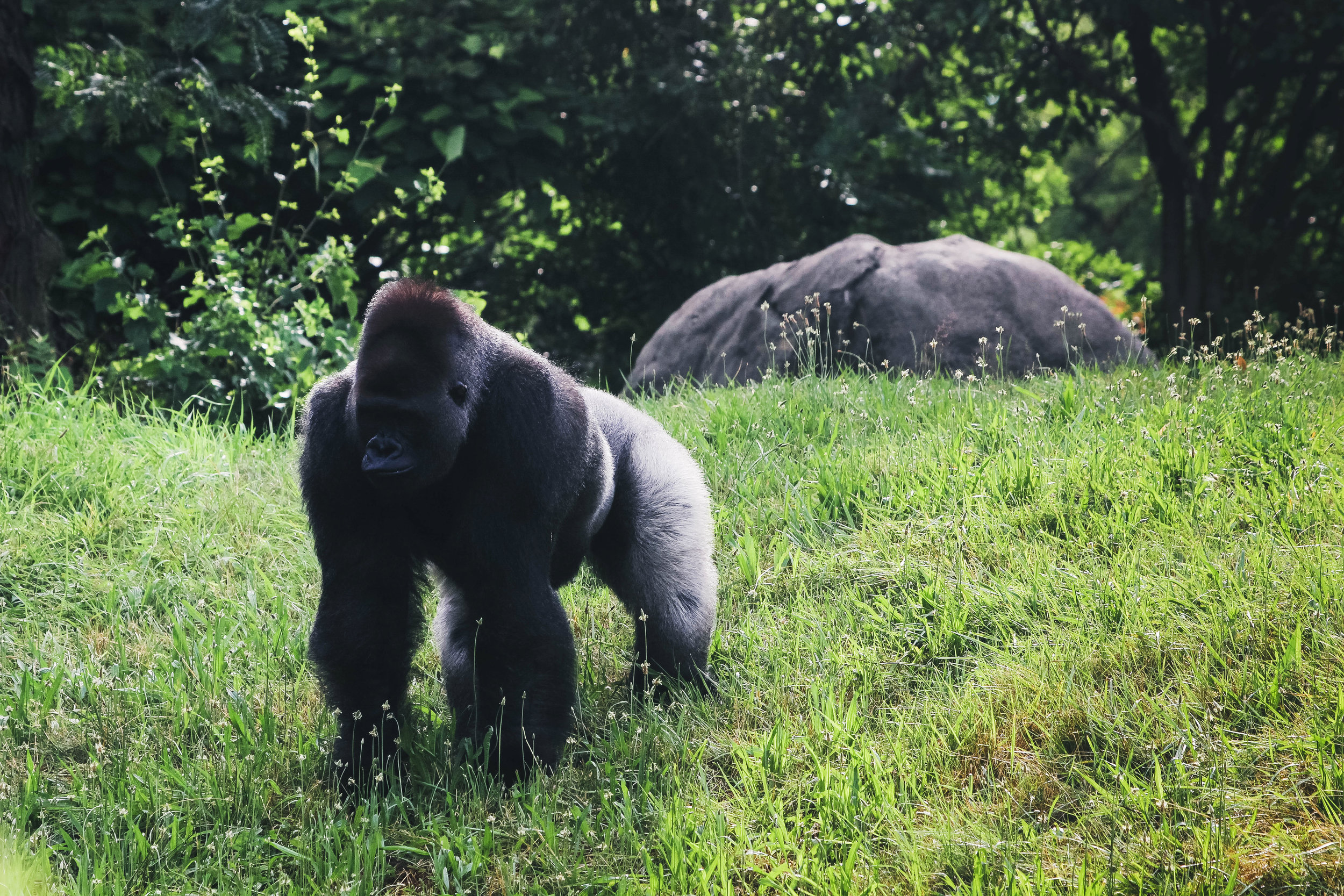 Gorilla at the Detroit Zoo   Image by Taylor Ifland Photography