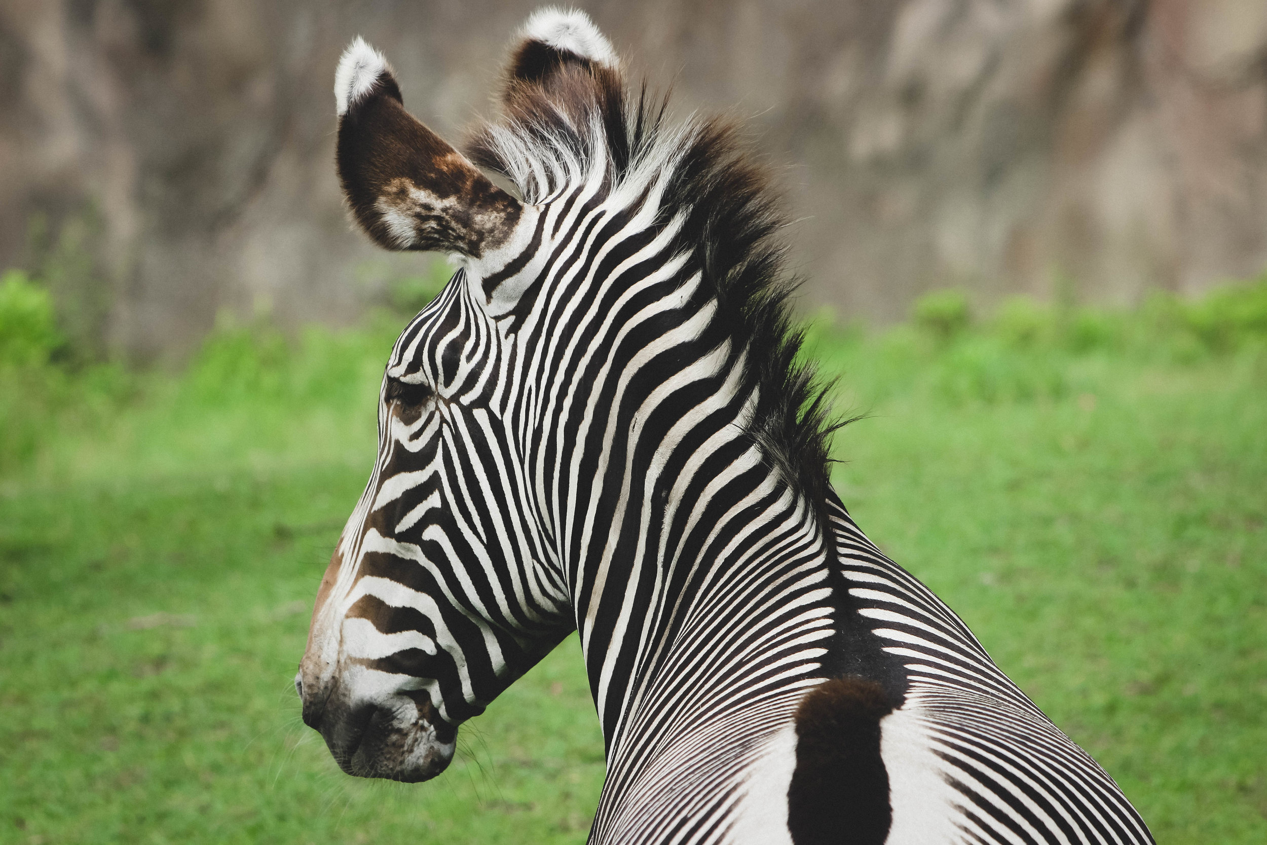 Zebra at the Detroit Zoo | Image by Taylor Ifland Photography