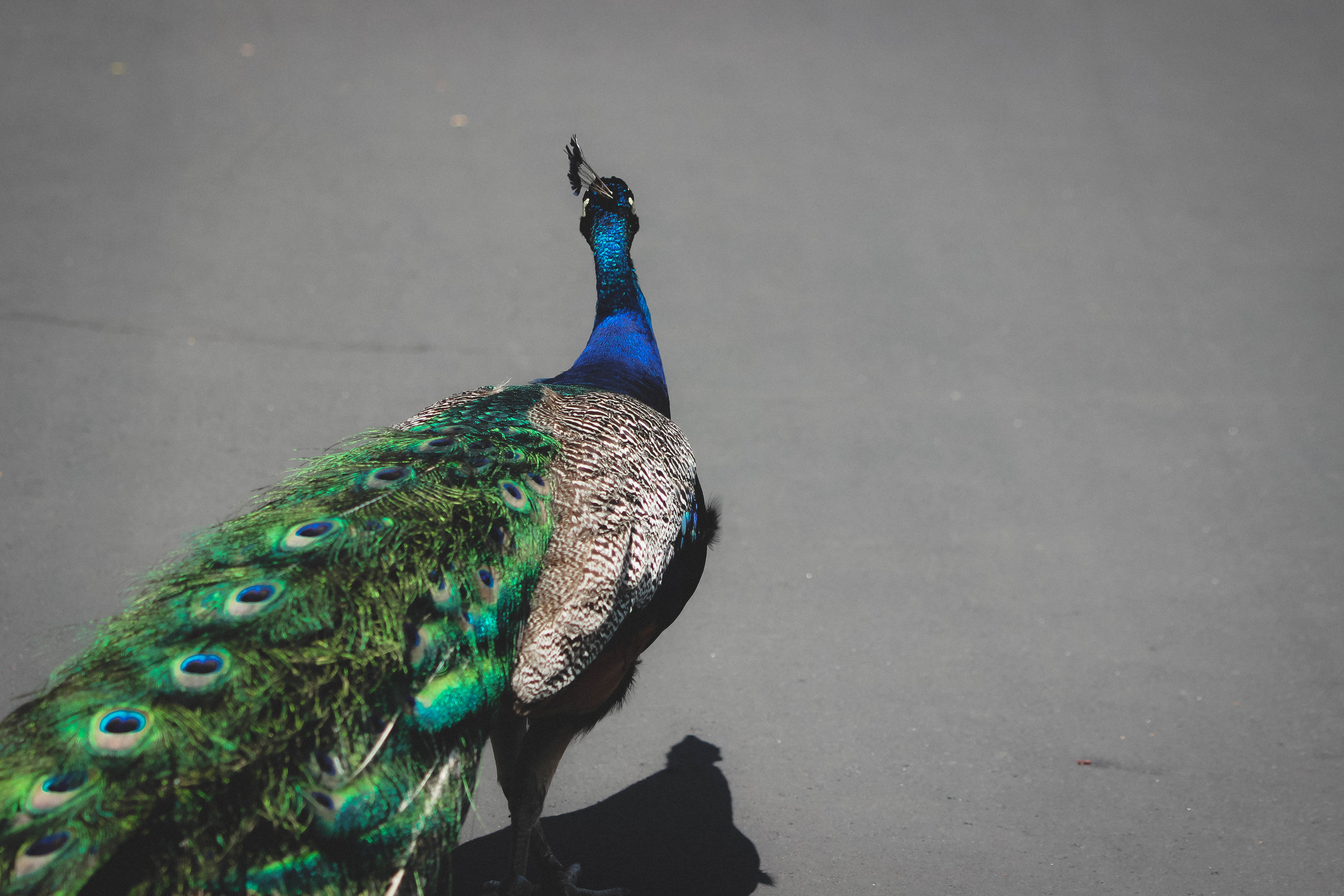 Peacock at the Detroit Zoo | Image by Taylor Ifland Photography