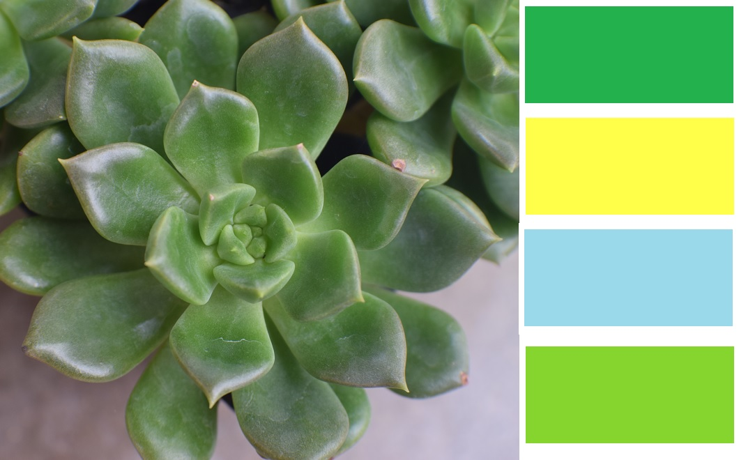 Sleepy Echeveria Succulent Color Palette