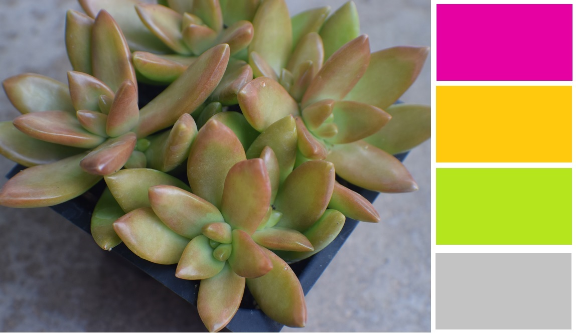 Golden Sedum Succulent Color Palette