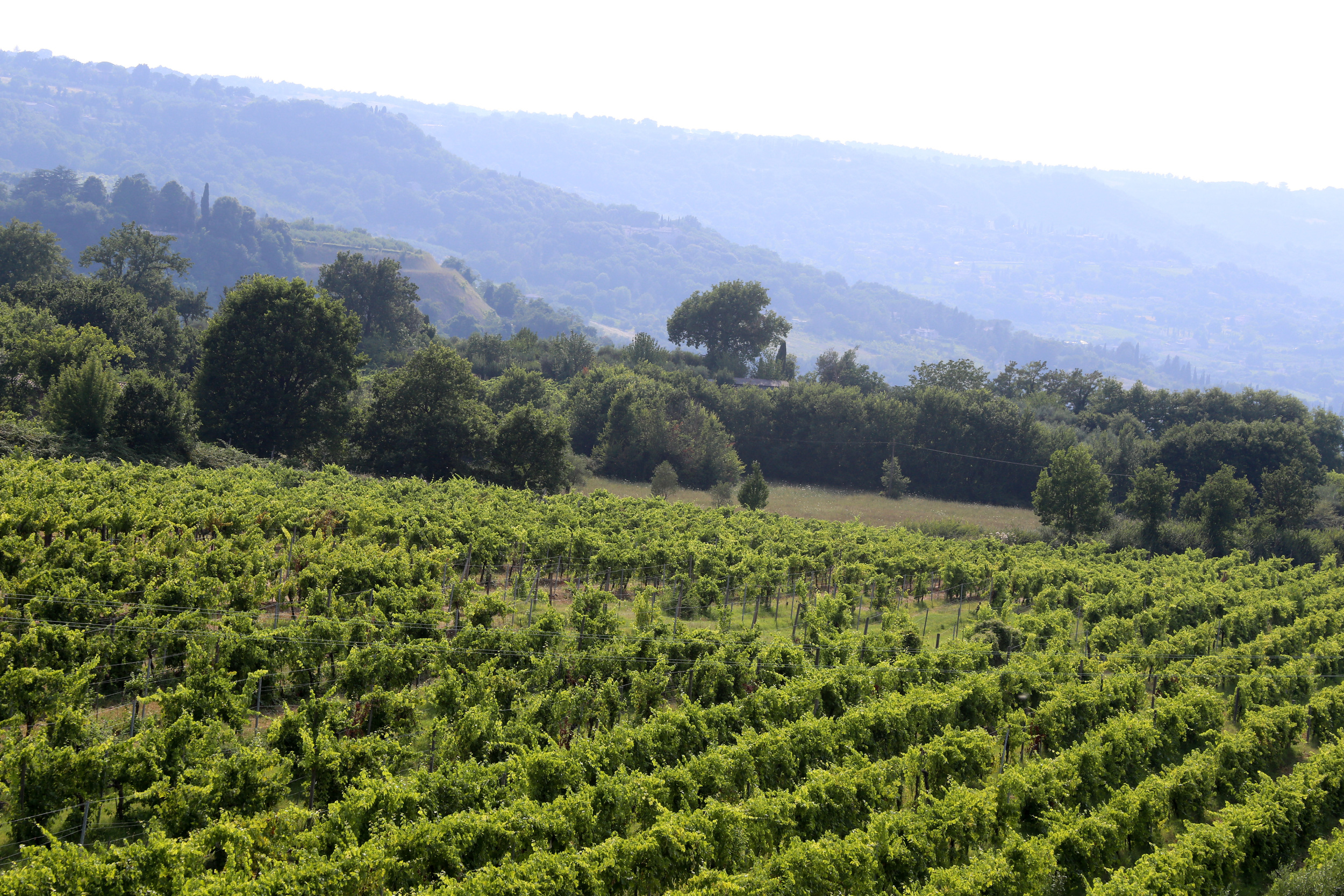 Vineyards in the rolling landscape opposite Orvieto (Photograph by Gianna Scavo).