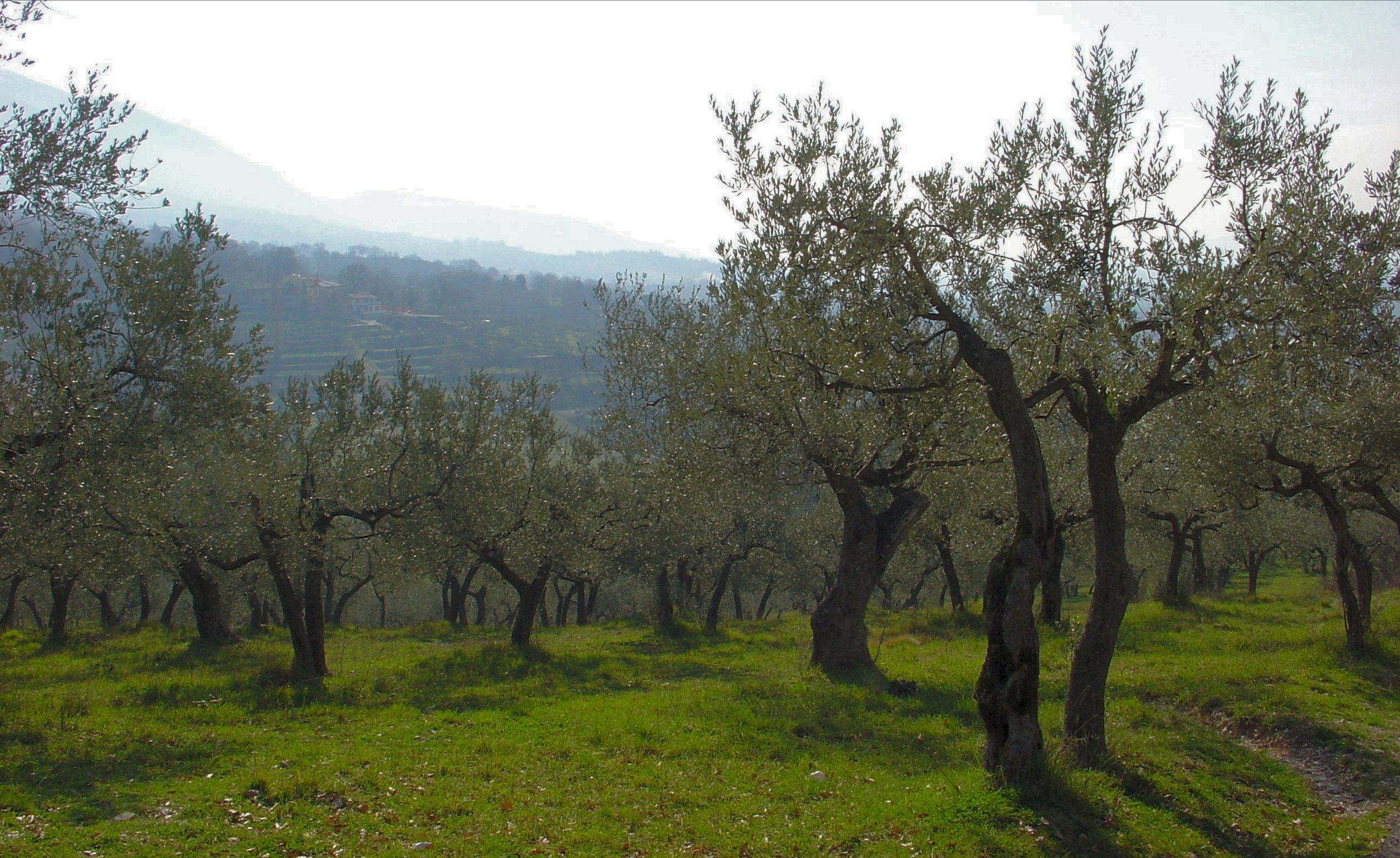 #1 Assisi olive grove Nystedt.jpg