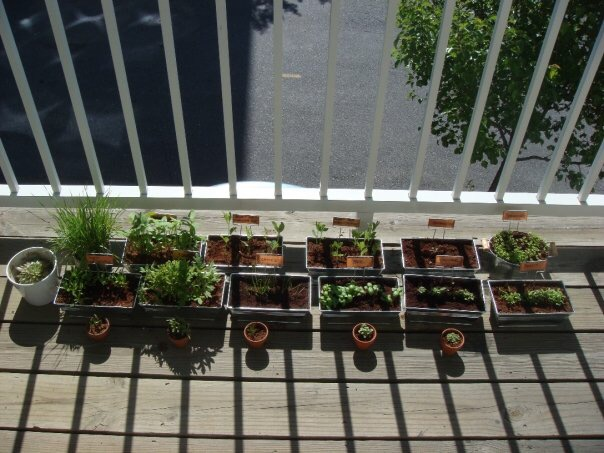 My 2009 balcony garden. Very green, not extremely edible. Seeds were started too close together and I only used soil from from the target dollar bins.