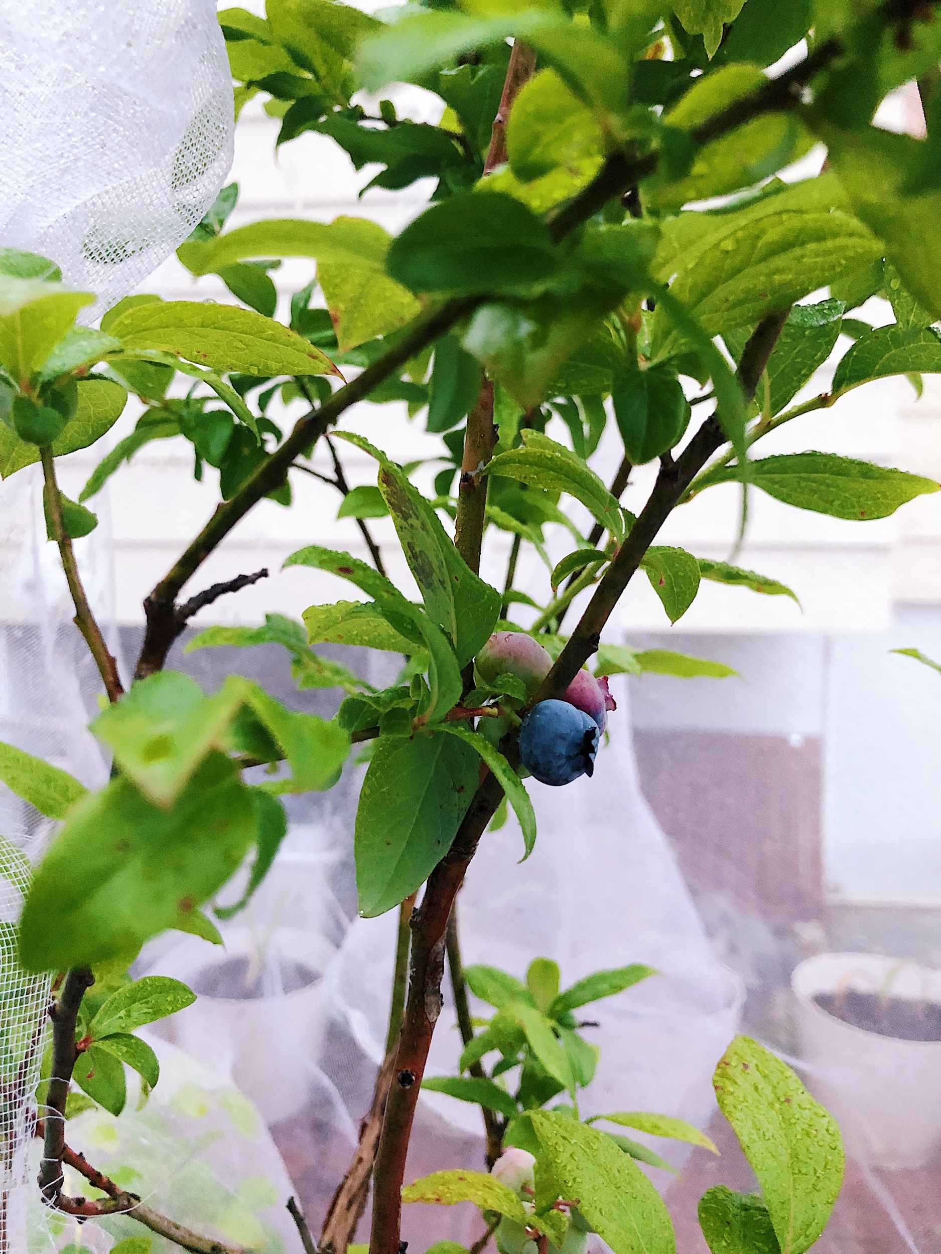 The first ripe blueberry of 2019