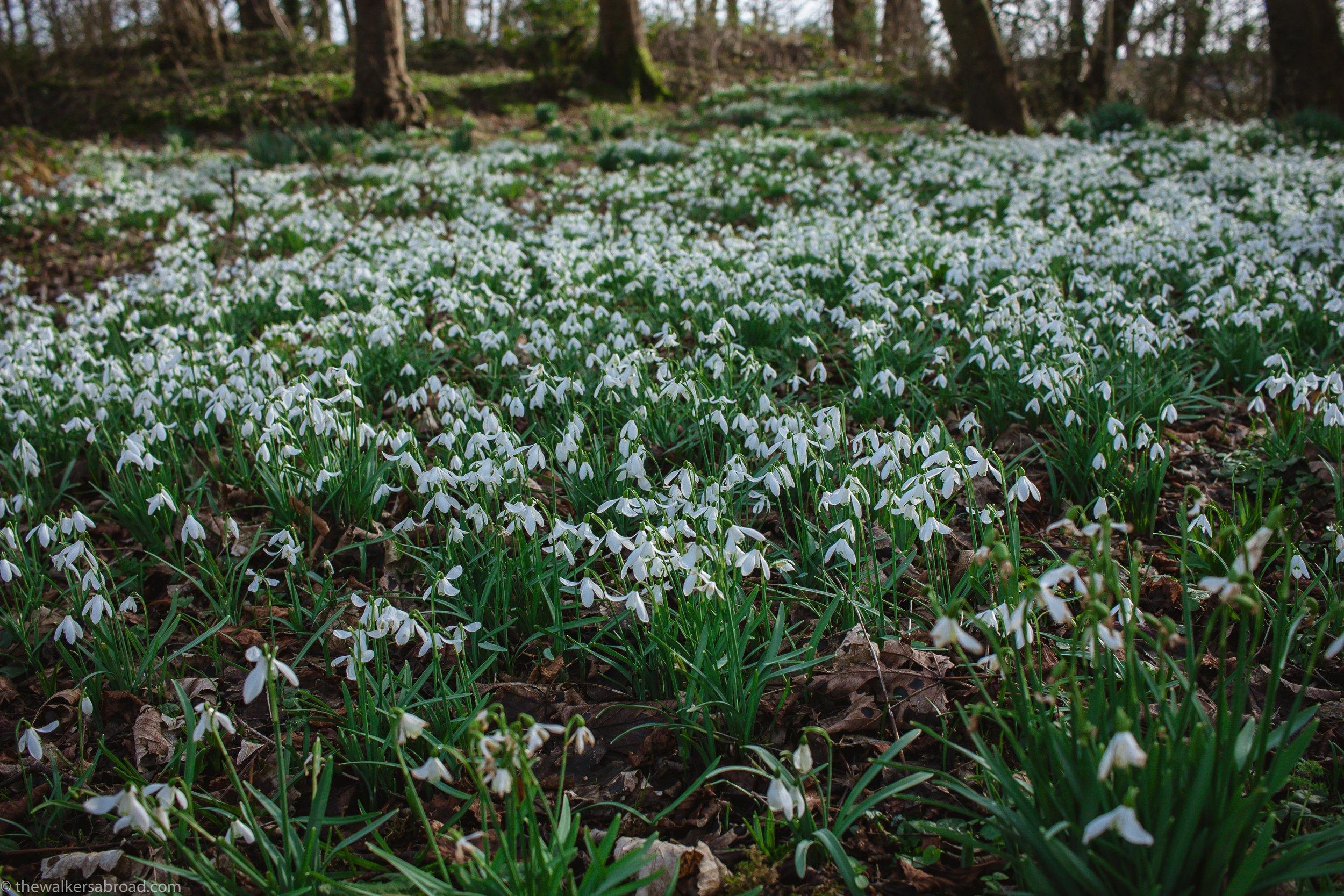 snowdrops Scotland Island Cumbrae Millport Flower